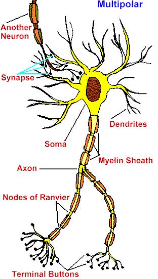 Teoria Del Sistema Nervioso