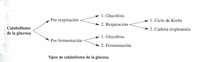 Tema 11: el metabolismo celular. Catabolismo